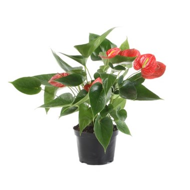 Anthurium_1.40QT__jpg_new